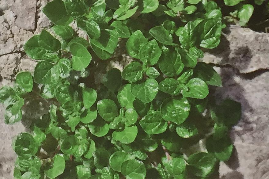Conoscere le piante: Parietaria officinalis (Urticaceae) / Vetriola comune, erba vetriola, muraiola 2