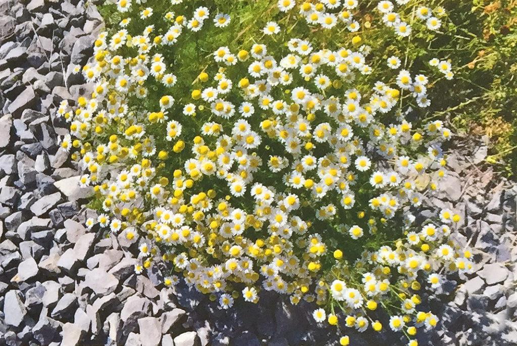 Conoscere le piante: Matricaria chamomilla (Asteraceae) / Camomilla comune 3
