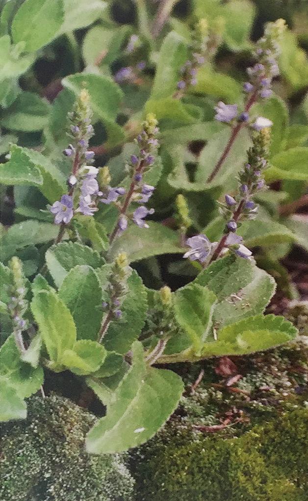 Conoscere le piante: Veronica officinalis (Plantaginaceae) / Tè svizzero, Veronica medicinale 1